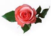 roza_0
