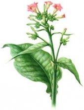 nicotiana-tabacum